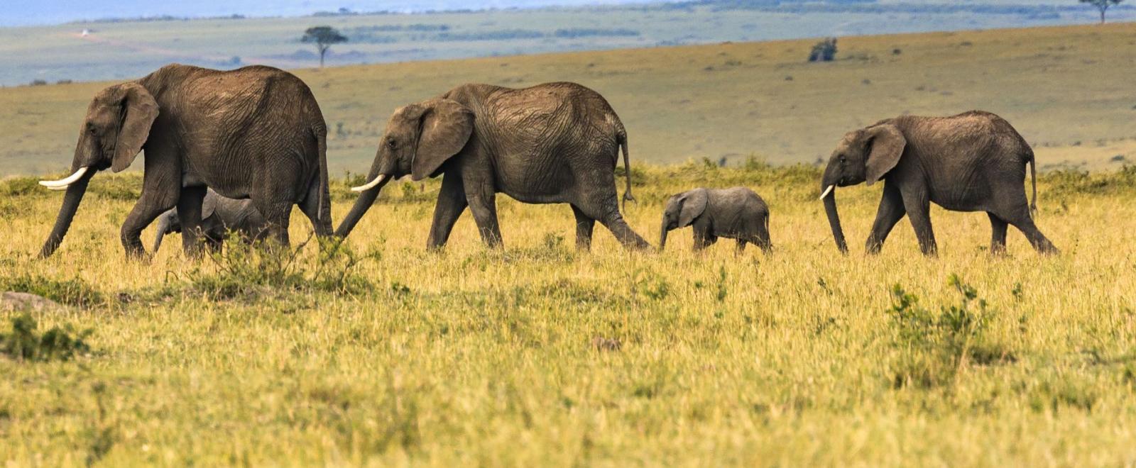 Elephant family roaming through the wilderness of Botswana in Africa
